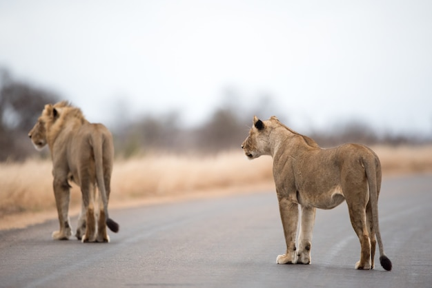Lions walking on the road