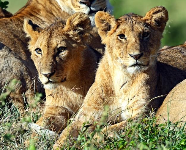 Lionss walking her five cubs through kenya's masai mara