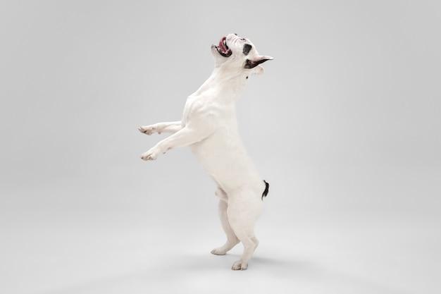 당신의 말을 듣고. 프랑스 불독 어린 강아지 포즈입니다. 귀여운 장난 화이트-블랙 강아지 또는 애완 동물 재생 및 흰색 배경에 고립 된 행복을 찾고 있습니다. 모션, 액션, 움직임의 개념.