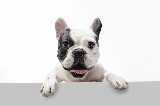 あなたの話を聞いています。フレンチブルドッグの若い犬がポーズをとっています。かわいい遊び心のある白黒の犬やペットが遊んでいて、白い背景に孤立して幸せそうに見えます。モーション、アクション、動きの概念。