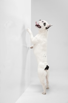 Listening to you. french bulldog young dog is posing. cute playful white-black doggy or pet is playing and looking happy isolated on white background. concept of motion, action, movement.