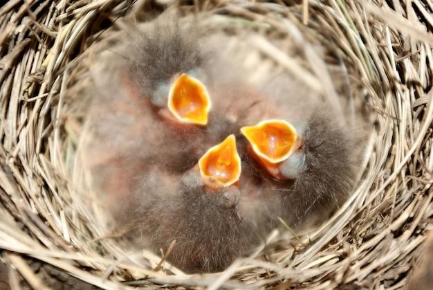 Маленькие цыплята в гнезде.