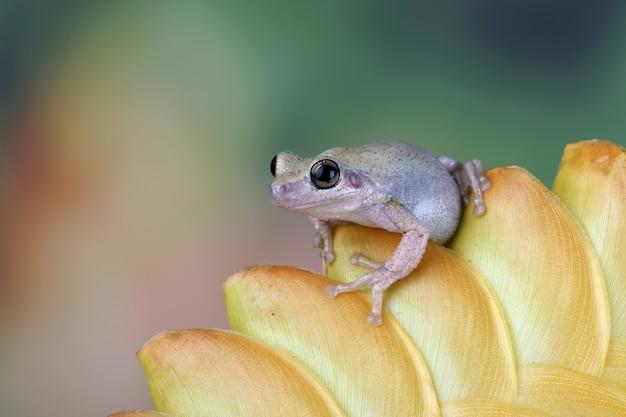 녹색 잎 사이에 litoria 풍진 청개구리