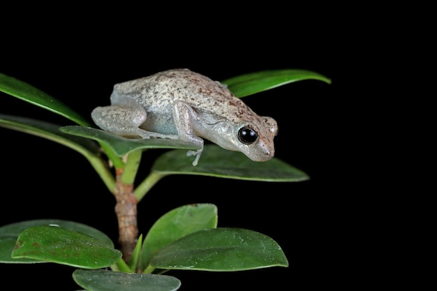 Litoria rubella tree frog on green leaves with black wall