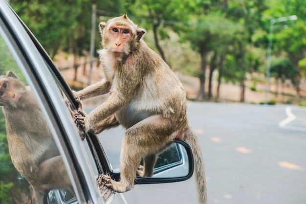 Litte crab-eating macaque