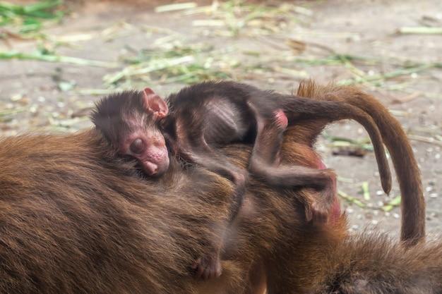 Little baby of hamadryas baboon sleeping on back his mother monkey.