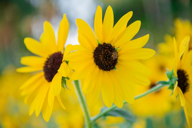 小さな蜂と黄色の太陽の花