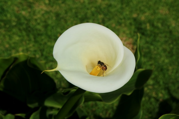 Little bee collecting nectar on the yellow pollen of white calla lily flower