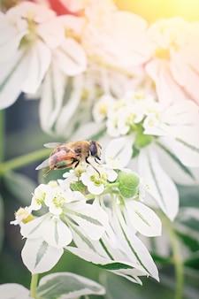 흰 꽃에 앉아 작은 꿀벌. 봄 시간 개념
