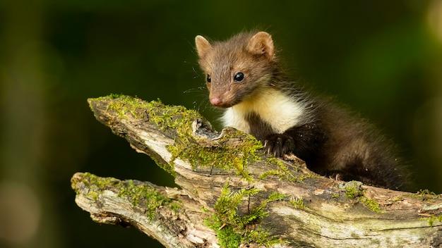 Little beech marten cub crawling on a branch in forest