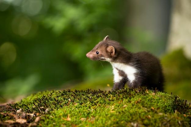 Little beech marten cub looking aside on green moss