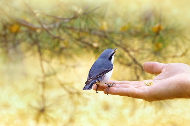 Little bird nuthatch eats food from hand.