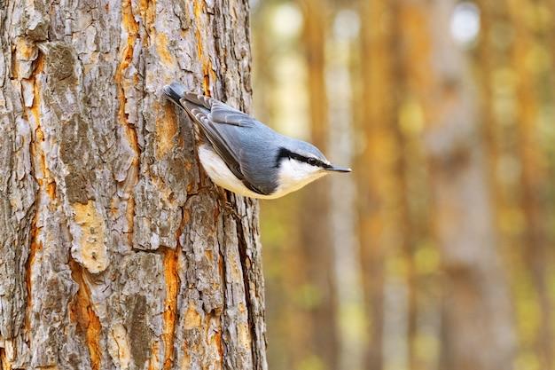 Маленькая птица поползень сидит на хвойном дереве в лесу