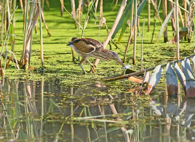 A little bittern female sits on a reed with a caught fish in its beak