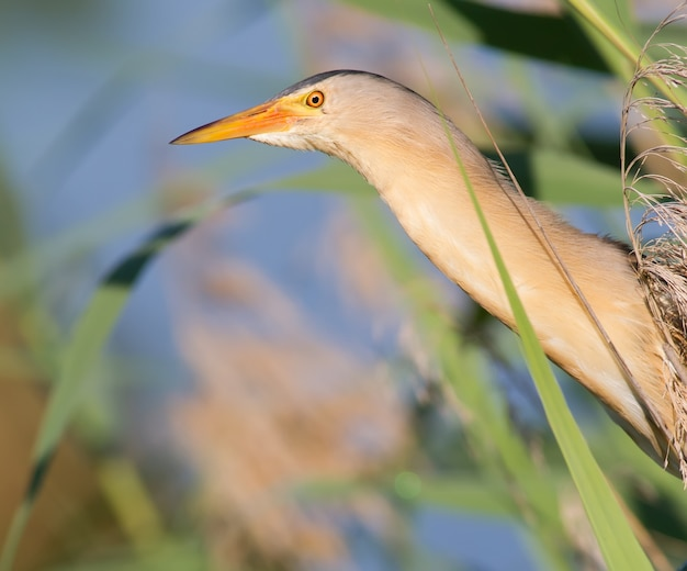 Little bittern hides in the reeds