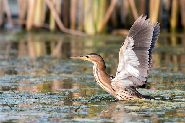 작은 새 ixobrychus minutus는 날개를 펼친 채 물 위에 서 있습니다.