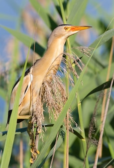 Little bittern kioriki ixobrychus minutus bird hides in the reeds