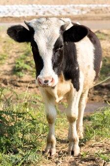 小さな黒と白の子牛