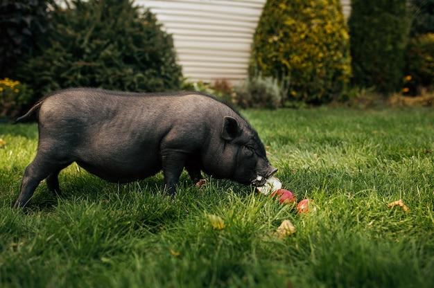 Маленькая черная свинья ест яблоки на траве в саду. хрюша гуляет по лужайке на заднем дворе. концепция животноводства