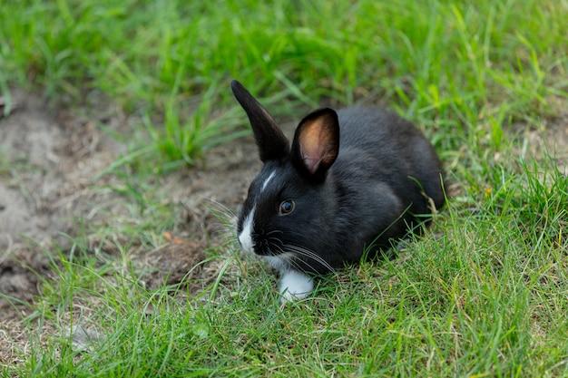 公園の緑の草の中の小さな黒いウサギ