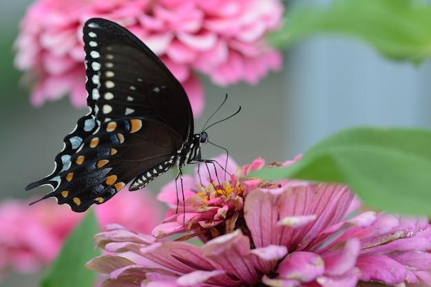 Маленькая черная бабочка satyrium на розовом цветке