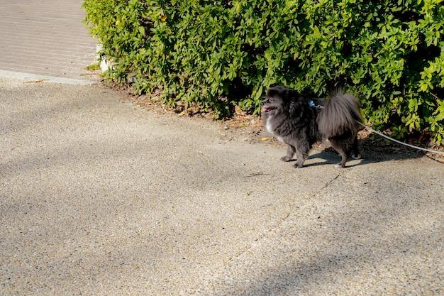 작은 검은 스피츠 - 밧줄이 달린 포메라니안이 야외 공원에서 무언가를 기다리고 있습니다.