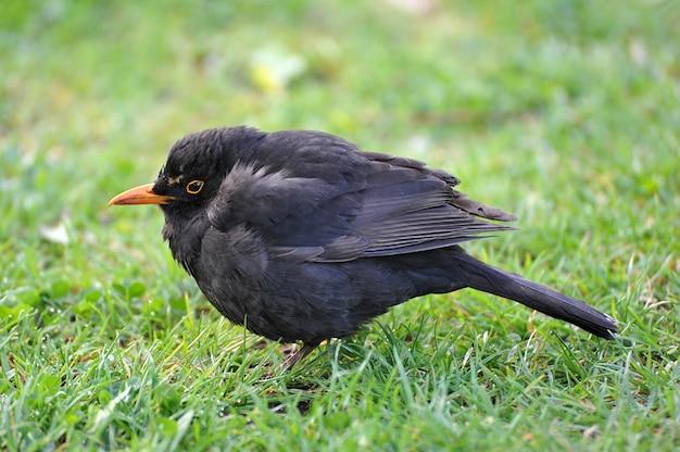 Little blackbird with an orange beak on the green grass