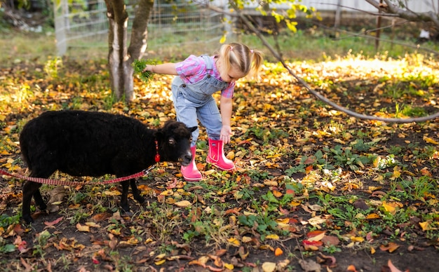Little blonde toddler girl with two braids playing and feeding domestic black sheep