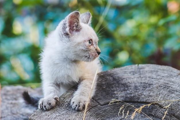 庭の小さな青い目のタイの子猫