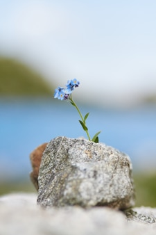 Little blue flower growing from a stone in the mountains, closeup