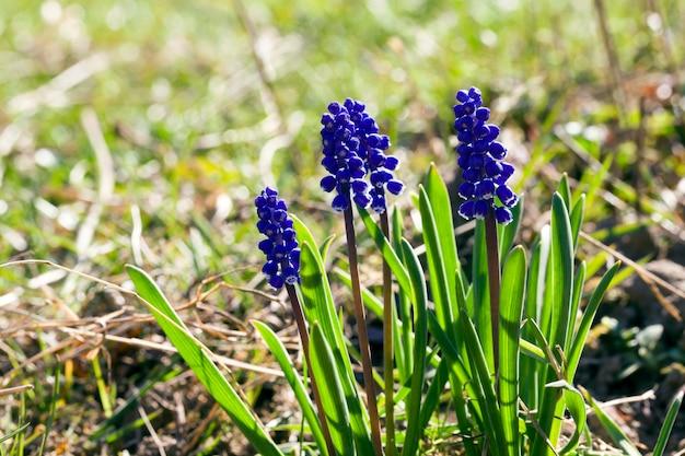 今年の春に牧草地で開花するブルーベルの小さな青い花、植物のクローズアップ