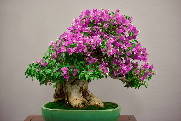 Little bonsai tree with pink flowers