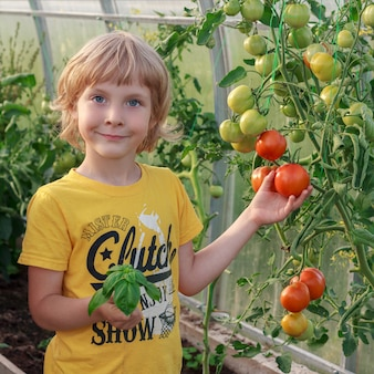 Little boy collecting ripe tomatoes and basil in greenhouse