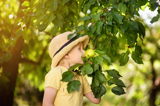 Little boy picking apples from tree.