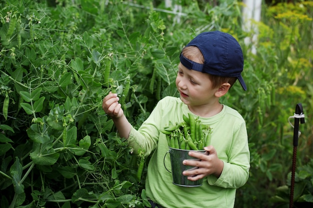 Little boy picking green peas in the kitchen garden on nature background