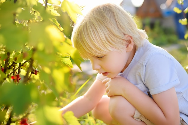 Little boy picking red currants in a domestic garden on sunny day