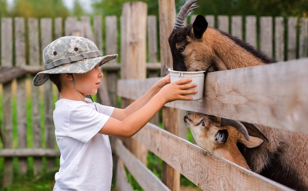 Little boy with care feeds the goat. environmentally friendly product on the farm.