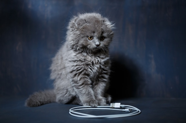 어린 브리티시 폴드 새끼 고양이는 전화를 충전하기 위해 케이블을 가지고 놀고 있습니다.
