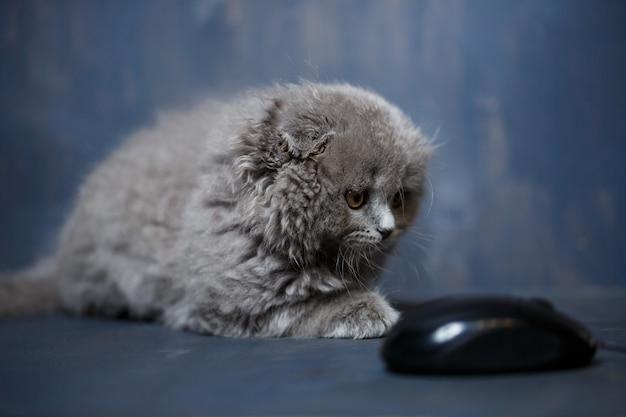 ブリティッシュショートヘアの子猫がコンピューターのマウスで遊ぶ