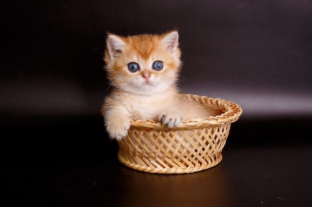 Маленький британский котенок золотой шиншиллы сидит в корзине
