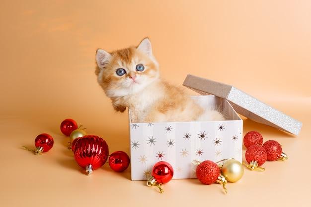 クリスマスボックスに座っている小さな英国のゴールデンチンチラの子猫