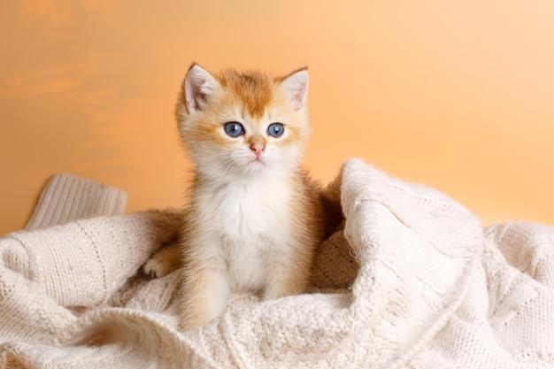 Маленький британский котенок золотой шиншиллы сидит на белом одеяле