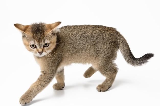 Little british straight kitten runs on a white surface, cute cat