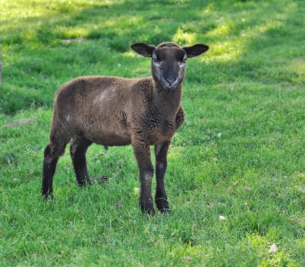 Little brow lamb