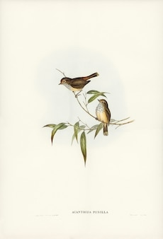 Little brown acanthiza (acanthiza pusilla) illustrated by elizabeth gould