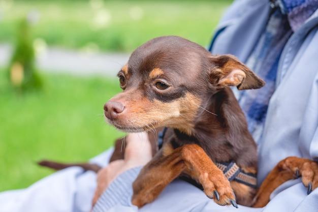 所有者の手に小さな茶色の犬のロシアのおもちゃのテリア_