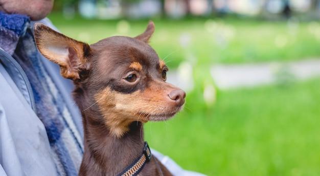 所有者の手に小さな茶色の犬のロシアのおもちゃのテリア