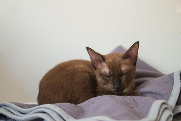 Маленький коричневый котенок спит на одеяле