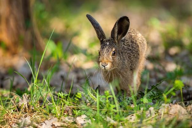 Маленький заяц-русак прыгает на траве в весенней природе