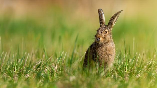 Маленький заяц-русак, сидящий на лугах в весенней природе